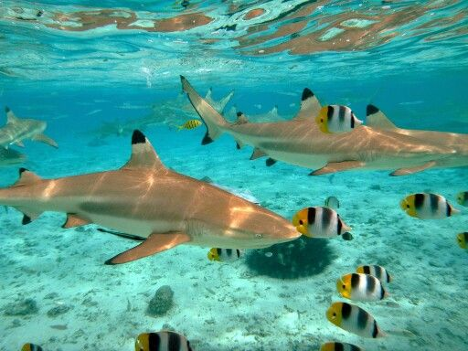 Sharks, Bora Bora, & Engaging M&A Markets II: Types of Sharks (Buyers)